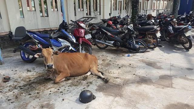 Mặc dù bị tạm giữ nhưng con bò này vẫn được chăm sóc cẩn thận