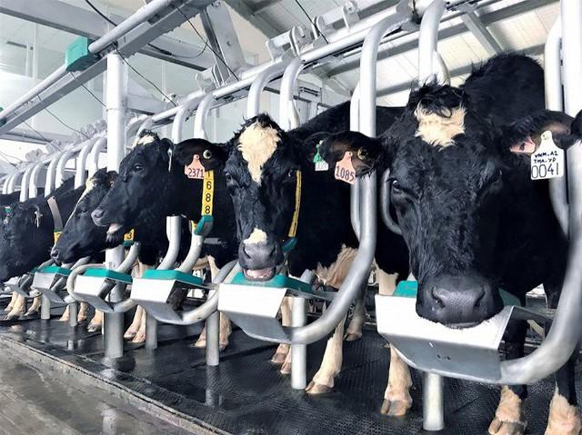 Những cô bò A2 đầu tiên tại Việt Nam được Vinamilk nhập khẩu từ New Zealand