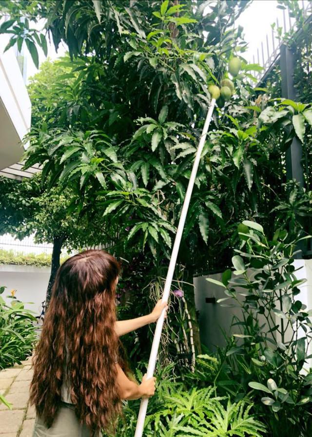 Cây xoài cao lớn được trồng ở sân vườn tầng 1.