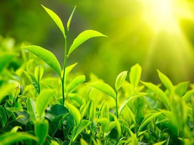Trà xanh là loại thực phẩm chứa nhiều chất chống oxi hóa. Ảnh: Internet
