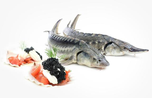 Cá tầm đen thường được nuôi ở Pháp, Italia, Thụy Sỹ, Nga... Những con cá tầm trắng bạch tạng thường sống ở vùng biển Caspian.