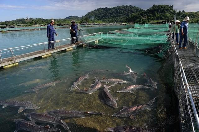 Tại Việt Nam, Đà Lạt là nơi duy nhất sản xuất giống cá tầm. Hiện trại giống Đà Lạt hàng năm sản xuất từ 1-1,5 triệu con giống cung cấp cho các hồ nuôi thương phẩm trong cả nước. Hiện trứng cá tầm chủ yếu cung cấp cho thị trường trong nước và xuất khẩu ra nước ngoài với sản lượng trứng cá chỉ vài tấn/năm.
