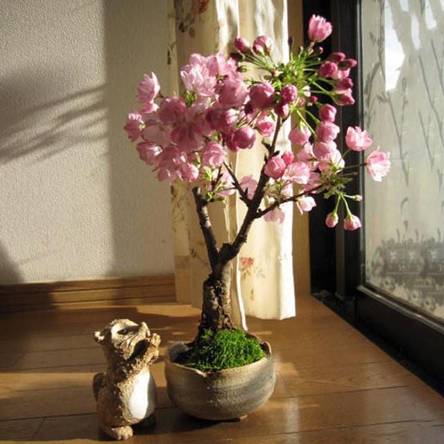 Cherry trồng trong chậu có thể làm cảnh.
