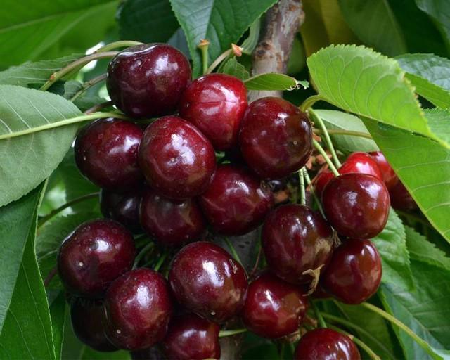 Cherry dễ trồng và cho rất nhiều quả.