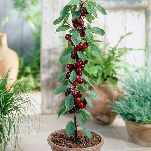 Sau khoảng 1 năm tự trồng cherry tại nhà, cây cherry trồng từ hạt có thể cho ra quả bói tuỳ thuộc vào công sức chăm sóc của bạn. Nếu cây hợp với khí hậu, cây sẽ lớn nhanh và cho ra khá nhiều quả. Trung bình 1 cây trồng được 1 năm khi ra quả sẽ thu hoạch được từ 150 – 300 quả.