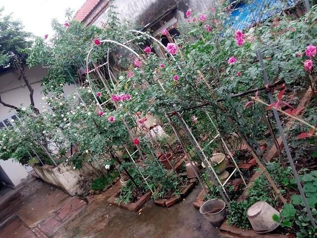 Khu vườn hoa hồng được anh Sang bắt tay thực hiện cách đây 3 năm