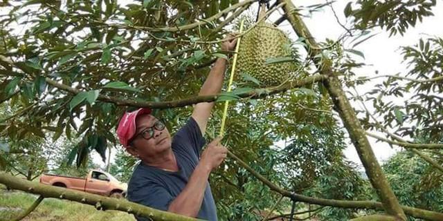 Ông Chainok đo đạc; quả sầu riêng nặng 18 kg trong vườn nhà mình. Ảnh: Facebook.