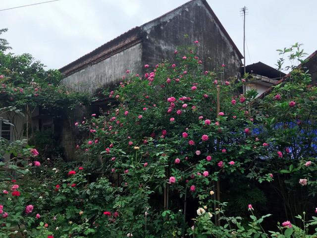 Hiện tại, vườn nhà anh Sang có khoảng 30 loại hoa hồng với đủ loại đua nhau khoe sắc quanh năm.