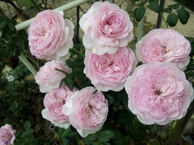 Với anh vườn hồng không chỉ để thỏa mãn sở thích, đam mê cá nhân mà cũng như một món quà anh dành cho vợ của mình.