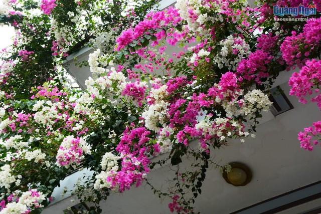 Mỗi khi mùa hè đến, ngôi nhà anh Phú như một bức tranh ngọt ngào, lãng mạn, tinh khôi bởi những bông hoa giấy rực rỡ.
