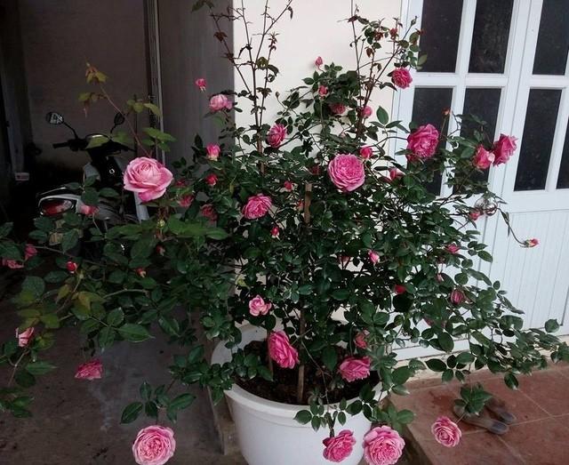 Trong đó, hoa đẹp nhất vào mùa đông, khi thời tiết mát mẻ