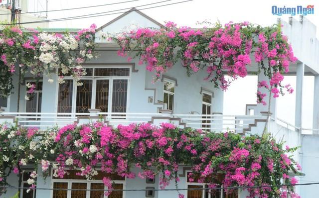 Năm 2014, mê mẩn trước vẻ đẹp của giống hoa giấy từ quốc đảo sư tử Singapore trong chuyến du lịch tại đây, anh Nguyễn Thành Phú, chủ nhân của ngôi nhà này đã mua giống hoa mang về trồng trước hiên nhà.
