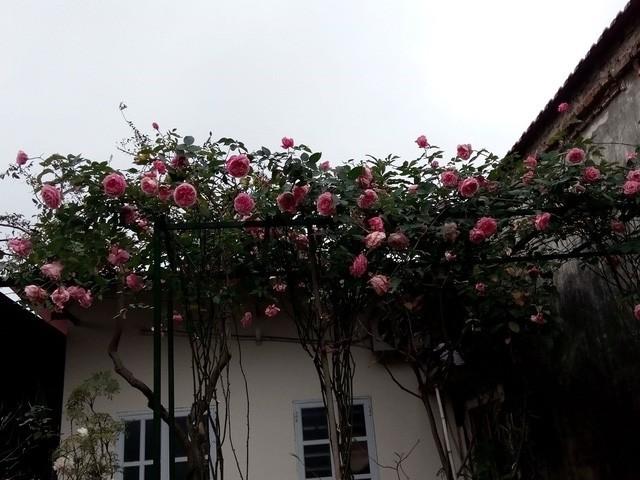 Hồng cổ Sapa được anh Sang bắc giàn trồng ngay trước cửa nhà