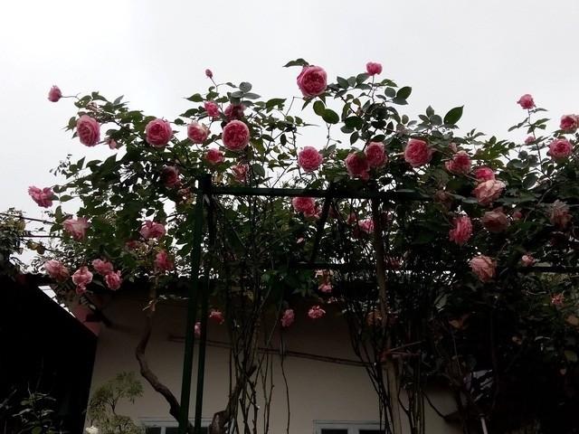 Vào mùa, hoa nở rất đẹp, bông to, sai hoa và tỏa hương thơm ngào ngạt khắp vườn.