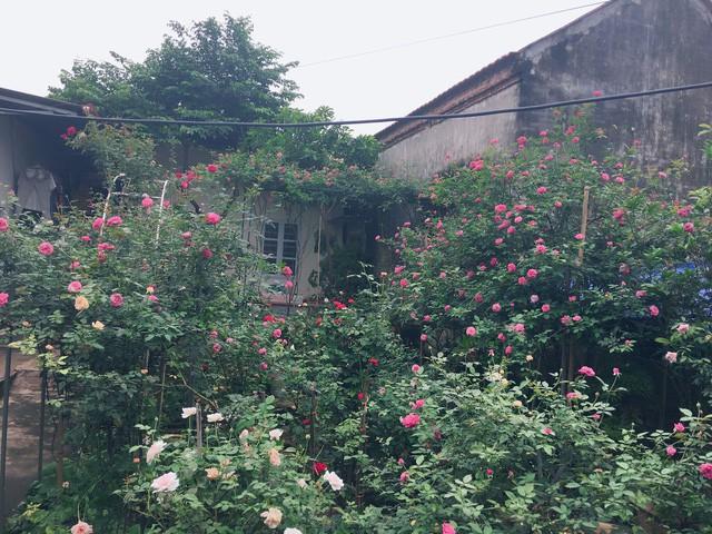 Ngôi nhà phủ kín sắc hoa hồng quanh năm