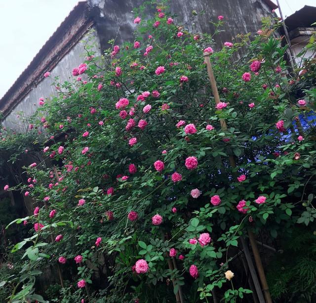 Chia sẻ về kinh nghiệm trồng hoa của mình, anh Sang cho biết, hoa hồng rất đẹp nhưng lại đỏng đảnh, khó chiều nên để trồng và chăm sóc phải hiểu kỹ đặc tính của từng loại.