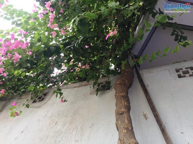 Đã 4 năm qua, 3 gốc hoa giấy lớn nhanh, cành lá sum suê, trổ hoa phủ kín ngôi nhà.