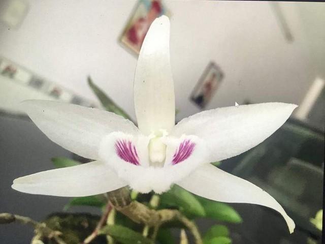 Theo ông Võ Anh Truyền, Chủ nhiệm Câu lạc bộ hoa lan đột biến sông Hàn, cây lan Giã Hạc này nhờ có đột biến nên tạo ra được bông hoa 5 cánh có sắc trắng. Đây là điều hiếm có và tại Việt Nam hiện chỉ có duy nhất cây lan Giã Hạc đột biến trên có đặc điểm này. Ảnh: Vietnamnet