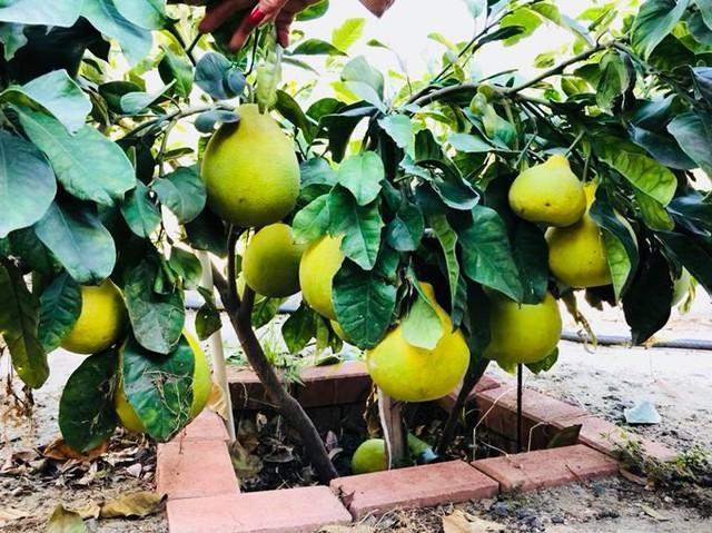 Chàng ca sĩ hải ngoại gọi cây bưởi này là siêu phẩm bởi chỉ cao 50 cm mà có tới hàng chục quả.