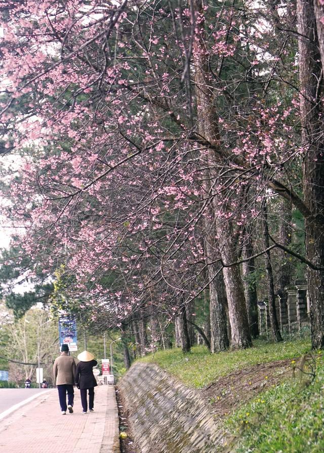 Đi dạo ngắm cảnh dưới những tán cây mai anh đào là một trải nghiệm tuyệt vời.