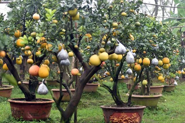 Vườn cây của ông Lê Đức Giáp (Thanh Oai, Hà Nội) có hơn 100 gốc cây ngũ quả. Đặc biệt, nhiều cây còn được ông ghép 9, 10 loại quả, khiến nhiều người trầm trồ thán phục.