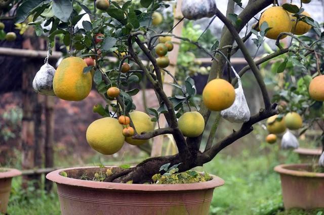 Ông Giáp cho biết, cây chọn ghép phải có thân to và bộ rễ chùm khỏe, thường là cây bưởi, cây cam sau đó đưa thêm các loại quả khác như phật thủ, quất… sao cho các loại quả chín đúng dịp Tết.