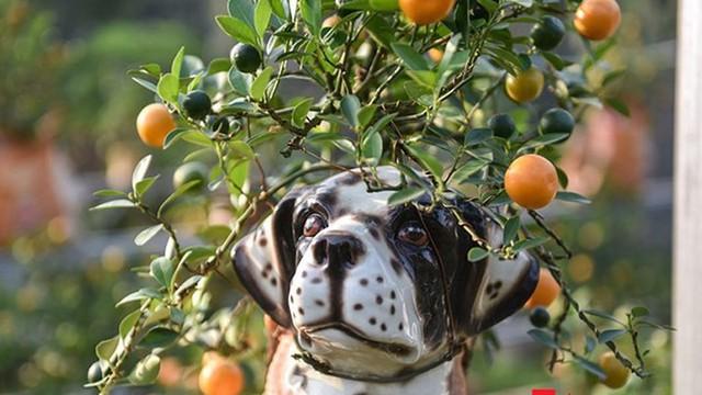Cây quất cảnh trồng trong chậu sứ hình chú chó đốm vô cùng độc đáo.