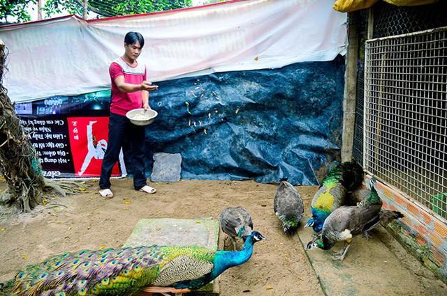 Anh Toản cho đàn chim công chuẩn bị vào mùa sinh sản ăn sâu