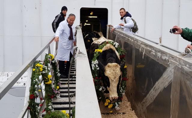 """Sau gần 4 tuần đi đường biển, đàn bò cập cảng an toàn và sẽ tiếp tục di chuyển 1.500 km để về """"ngôi nhà mới"""" là trang trại bò sữa TH ở làng Ivanovskoe và làng Mikhailovskoe, quận Volokolamsk, tỉnh Moscow."""