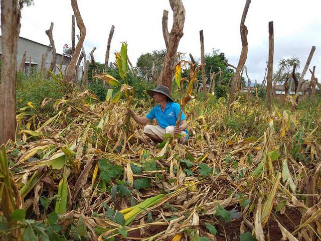 Nhiều diện tích nghệ của bà con ở Chư Pưh đã đủ thời gian thu hoạch nhưng tìm không được đầu ra