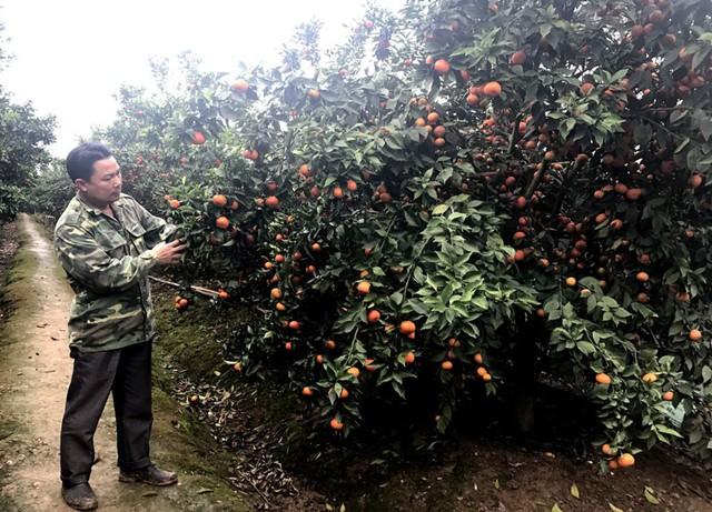 """Đam mê làm vườn, anh Long quyết định chọn cây cam đường Canh bởi cây cho năng suất cao mặc dù khó trồng    Sau 15 năm, giờ anh sở hữu 5ha trồng cam Canh và cam lòng vàng   Mỗi năm, cam cho thu hoạch một lần, thu được bao nhiêu tiền lãi anh lại đầu tư mở rộng diện tích. Từ vườn cam đầu tiên, anh mở rộng sang vườn thứ 2 và hiện là vườn thứ 3 với tổng diện tích 5ha.  """"Nói vậy thôi chứ trồng loại cam này không dễ. Chúng lắm sâu bệnh, chăm sóc cũng khó. Ví như, cây năm nay sai quả thì năm sau rất khó cho quả, rồi thì làm sao cho quả ngọt, khi nào bón phân, trồng cây đến năm thứ mấy thì bắt đầu để chúng ra quả,... """". Xòe tay đưa hai quả cam đường Canh vừa cắt trên cây xuống cho chúng tôi xem, anh cho hay cam Canh phải trồng 2 năm, đến năm thứ 3 mới bói quả. Khi ấy, cây đã to khỏe, đủ lực để cho ra quả ngon nhất.     Thời điểm hiện tại, vườn cam Canh của anh đang chín rộ      Quả sai trĩu cành...      ...tạo thành từng chùm quả lớn H      Đặc biệt, do nắm được kỹ thuật chăm sóc nên cam Canh căng bóng, mọng nước   """"Nói về cách trồng và chăm sóc thì khá phức tạp, nhưng với diện tích này tôi chỉ cần khoảng 10 nhân công. Bởi, toàn vườn tôi đã làm hệ thống tưới tự động, lao động chỉ việc cắt tỉa cành, thu hoạch quả và bón phân"""", anh nói. Còn riêng quá trình chăm sóc thì phải chú ý tới chế độ dinh dưỡng, bón phân chuồng, phân vi sinh vào tháng 6 dương lịch, đến tháng 8 thì dừng.  Ngoài ra, đến lúc cây cam tắt hoa vào quả nhỏ thì cũng phải dùng tiện tiện một vòng tròn quanh gốc để cây không bật lộc mới, tập trung dinh dưỡng nuôi quả, anh Long nói.  Vừa làm vừa tìm hiểu học hỏi từ sách vở, giờ cam trong vườn nhà anh luôn sai trĩu quả, lại ngọt đậm nhiều nước nên dân buôn rất chuộng.     Ngoài cam đường Canh, anh Long còn có một vườn cam lòng vàng      Những cây cam lòng vàng cũng sai trĩu, quà chi chít khiến cành sà xuống sát mặt đất      Chỉ ít ngày nữa là các vườn cam của anh đồng loạt cho thu hoạch      Sản lượng cam anh Long dự tính đạt khoảng 100 tấn, sau khi trừ hết chi phí """