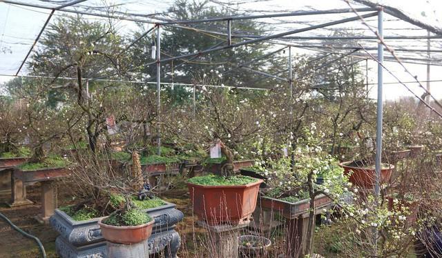 Chiêm ngưỡng vườn mai trắng đẹp hiếm có ở Hà Nội