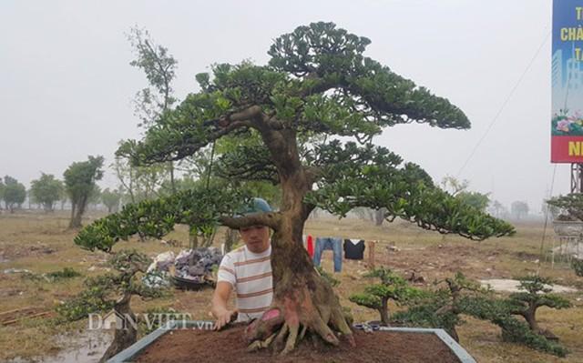 Hiện cây tùng của anh Toản đã được nhiều khách đến thăm quan, hỏi mua nhưng do chưa được giá nên gia đình anh chưa muốn bán.