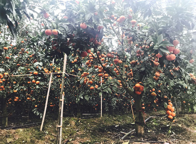 Sau 15 năm, giờ anh sở hữu 5ha trồng cam Canh và cam lòng vàng
