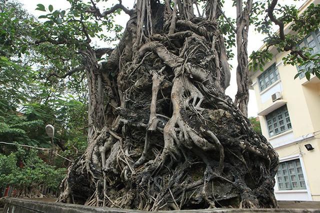 Theo giải thích của chủ nhân cây sanh, sanh cổ được uốn theo thế Mộc thạch nghênh phong. Tại sao lại là Mộc thạch nghênh phong? Vì cây sanh này có một bộ rễ ôm đá mà thế đứng làm cho cây và khối đá dưới chân gắn chặt vào nhau như đưa toàn thân vươn lên cùng nghênh đón gió.