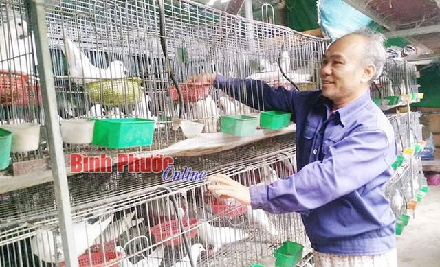 Ông Nguyễn Quốc Tuấn, xã Tân Phước, huyện Đồng Phú, tỉnh Bình Phước cho biết, bồ câu Pháp mỗi tháng đẻ 1 lứa. Đặc biệt, bồ câu Pháp có thể vừa ấp trứng vừa nuôi con nên việc tăng đàn rất nhanh.
