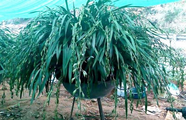 Để sở hữu được những chậu lan Trần Mộng khủng, nhiều người chi tới hàng trăm triệu đồng