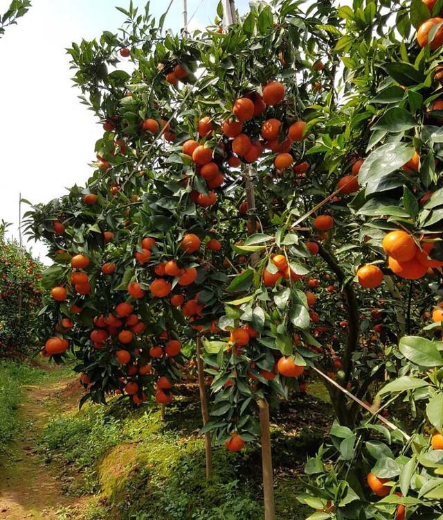 Thời điểm hiện tại, vườn cam Canh của anh đang chín rộ