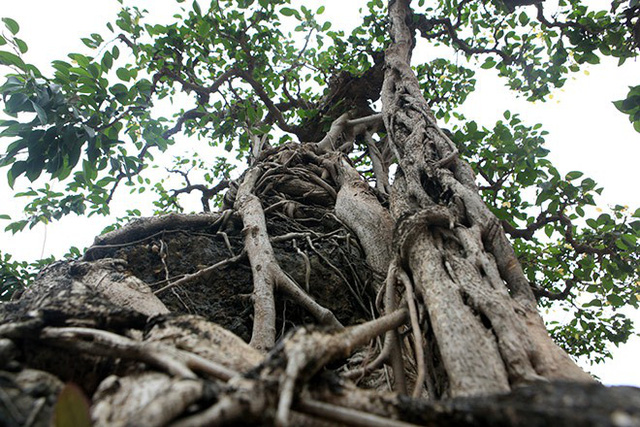 Màu của rễ hòa quyện vào màu của đá thành một màu mà chỉ những cây xanh cổ thực sự mới có được.