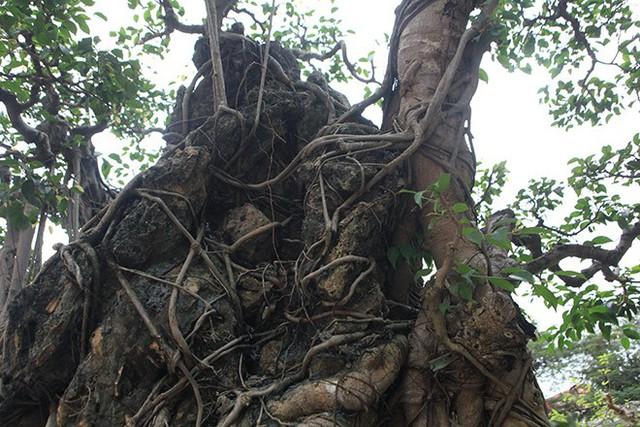 Xét theo mẫu vật lấy tại cành nhánh, cây sanh này có tuổi đời khoảng 165 năm.