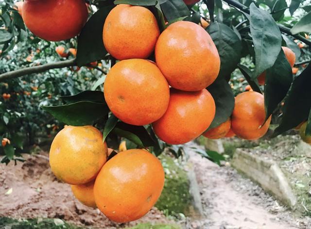 Đặc biệt, do nắm được kỹ thuật chăm sóc nên cam Canh căng bóng, mọng nước