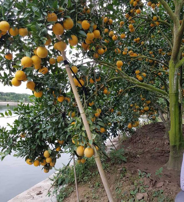 Ngoài cam đường Canh, anh Long còn có một vườn cam lòng vàng