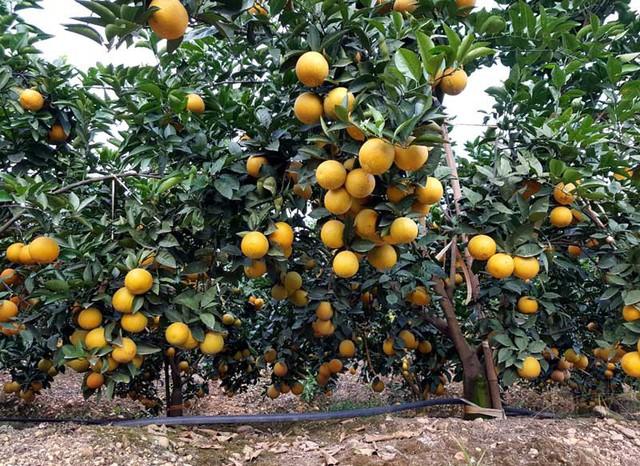 Những cây cam lòng vàng cũng sai trĩu, quà chi chít khiến cành sà xuống sát mặt đất