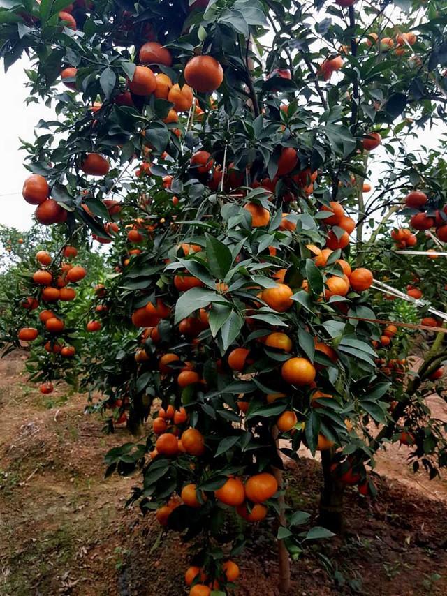 Chỉ ít ngày nữa là các vườn cam của anh đồng loạt cho thu hoạch