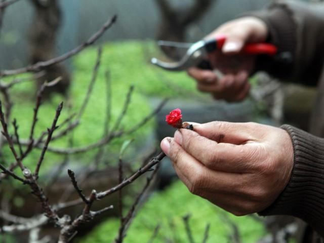 Những bông đào nở sớm thường không đẹp, kém sắc và nhỏ.