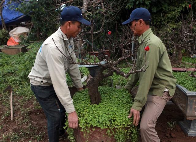 Do giống đào khó trồng, khó chăm sóc nhất là điều tiết để nở hoa đúng dịp phải trải là người có nhiều kinh nghiệm.