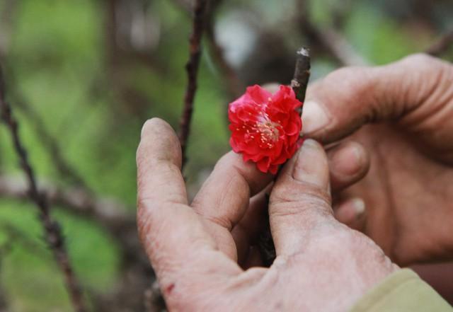 Màu sắc của đào Thất thốn cũng đỏ rực chứ không nhợt nhạt như đào thường.