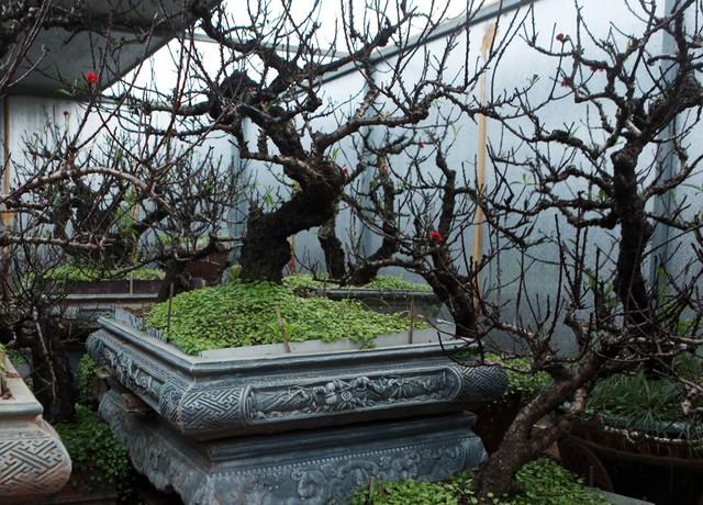 Những gốc đào Thất thốn có giá trị lên đến hàng trăm triệu được chăm sóc trong phòng điều hòa.