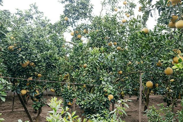 Gần đến dịp Tết Nguyên đán 2019, nhu cầu mua trái cây đặc sản của mỗi gia đình ngày càng tăng cao, trong đó phải kể đến mặt hàng bưởi bày mâm ngũ quả và dùng làm quà biếu.