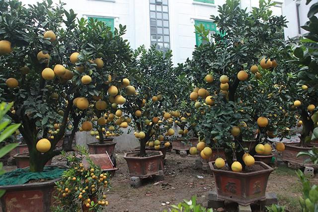 Những cây bưởi diễn cảnh sai trĩu quả có giá cho từ 15 – 70 triệu đồng